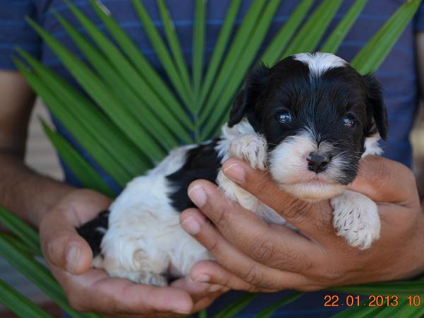 cavoodle-puppies