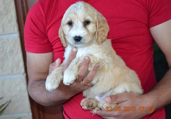 spoodle-puppies-4