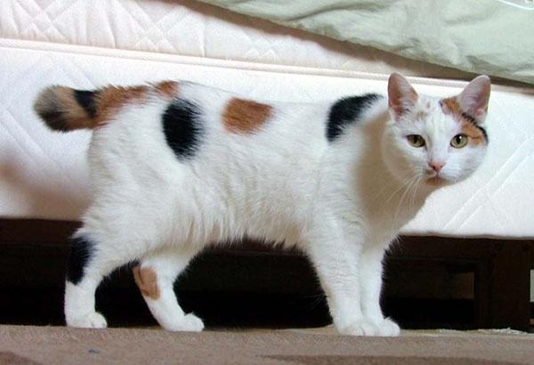 cute-cat-breeds-manx
