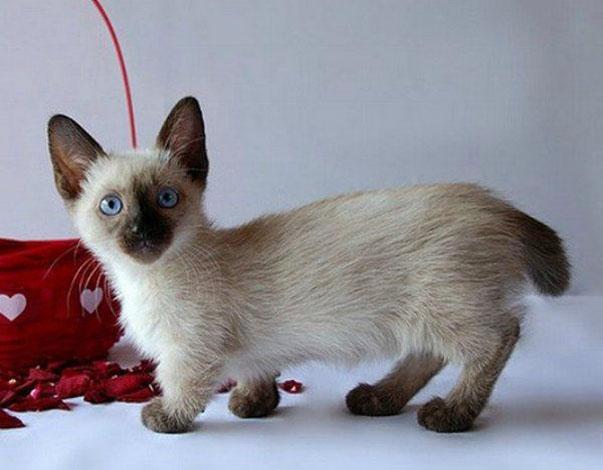 cute-cat-breeds-munchkin