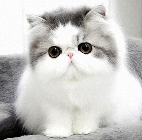 cute-cat-breeds-persian-cat