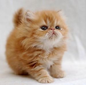cutest-cat-breeds-01