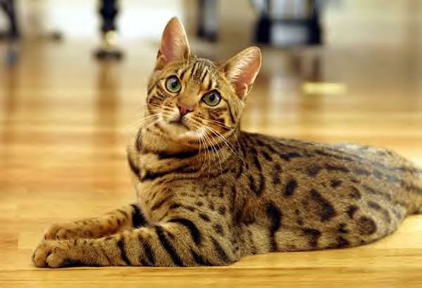 cutest-cat-breeds-bengal-cat