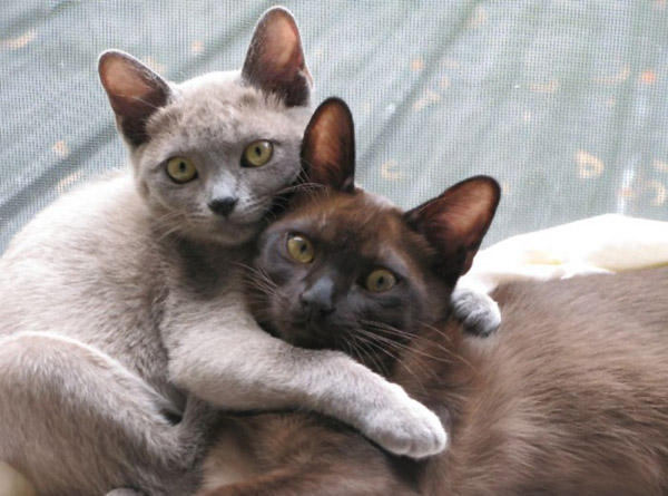 cutest-cat-breeds-burmese-cats