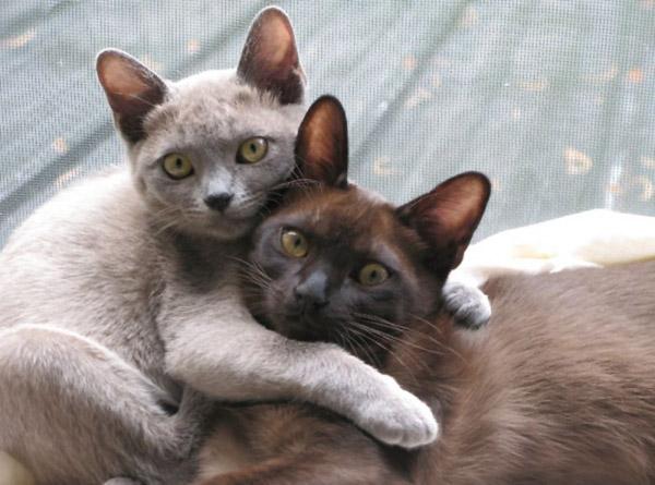 cutest-cat-breeds-burmese-cats