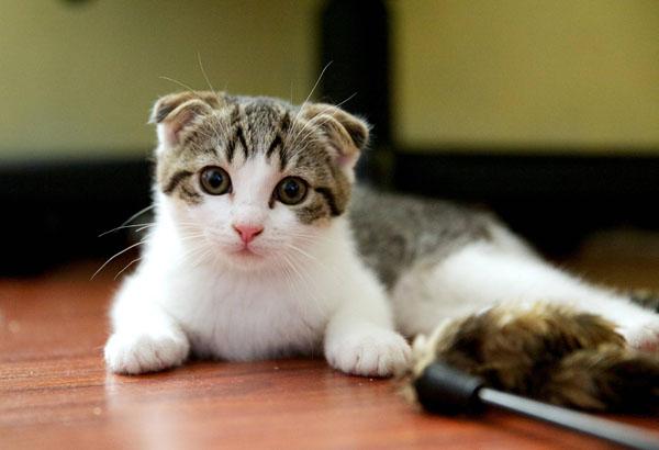 cutest-cat-breeds-scottish-fold-cat