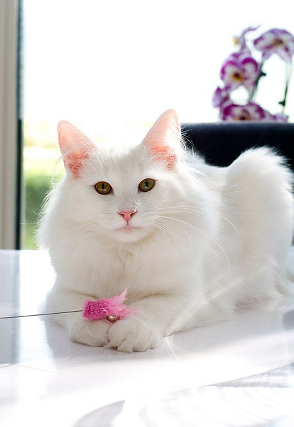 cutest-cat-breeds-turkish-angora