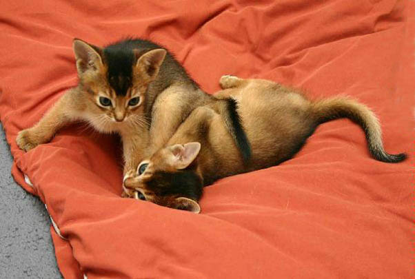cutest-cat-breeds