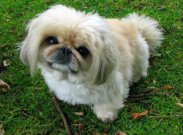 small-dog-breeds-02