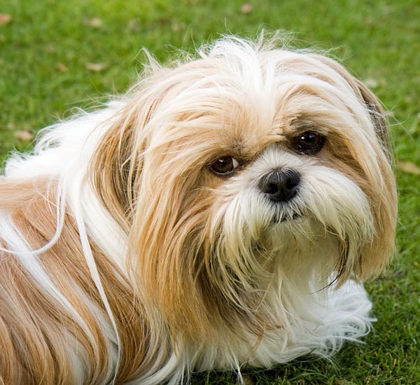 small-dog-breeds-04